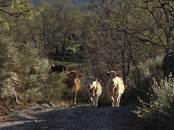 Cows in the trail / Vacas en el camino