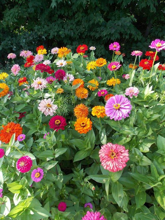 Garden Ideas Along Fence Line mixed zinnias along back fence line | garden/outdoor | pinterest