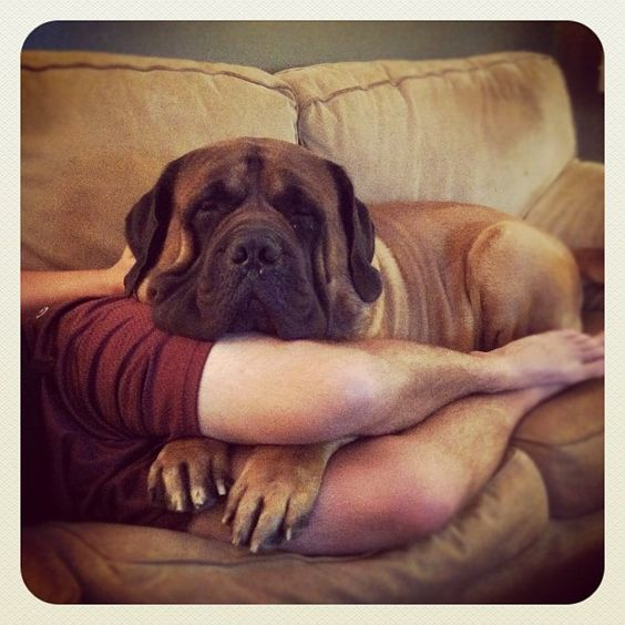 LOL, this is exactly how my mastiff lays with me on our couch:)