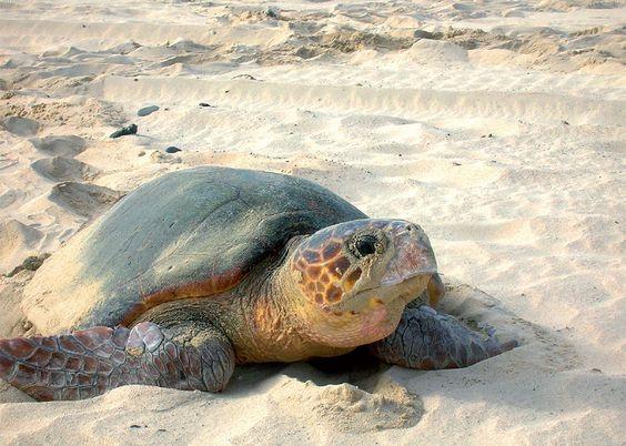 ¿Cómo actuar en caso de avistamiento de tortuga marina en la playa?