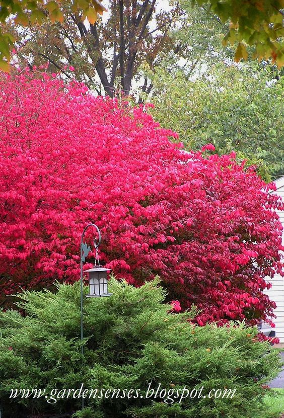 Shrubs For Property Line Some Japanese Spirea Such As