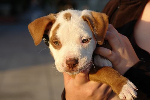 speckled pit bull puppy