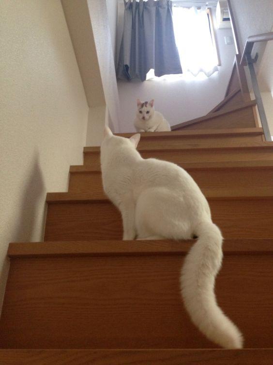 hush,Tama! you hush,Umi! #cat #pet #petsitter #setagayaku #cute #かわいい #猫 #白猫