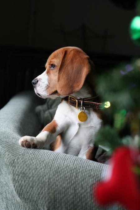 Best Night Time Housetraining Routine Beagle Puppy Baby Dogs