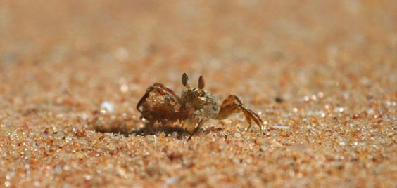 Indian Ghost Crab