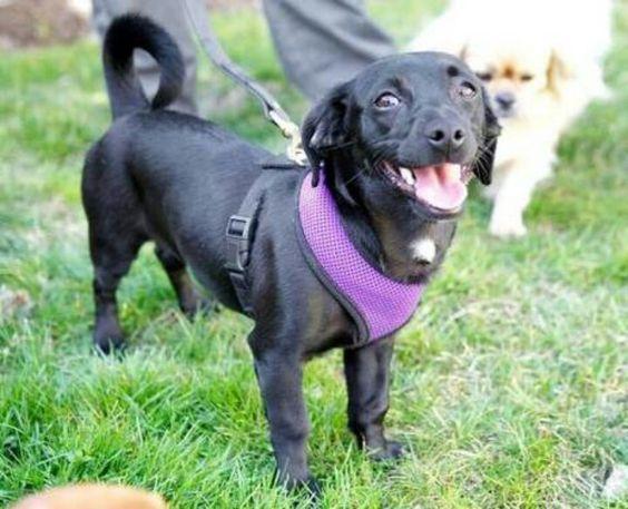 Black lab dachshund mix | Animals | Pinterest | Black labs ...