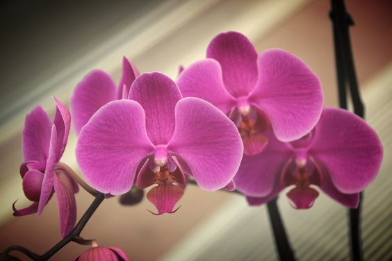 Beautiful Orchids courtesy of Denver Botanical Gardens. Photo by Gerri Koppa.
