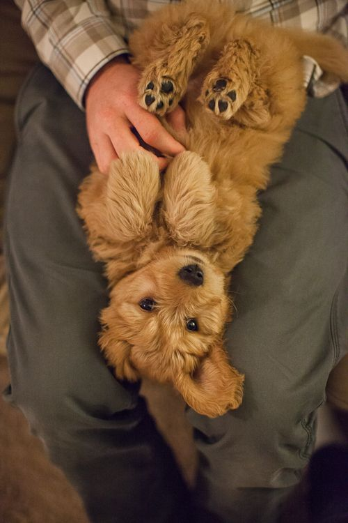 I Love This Little Guy I Am Getting A Golden Doodle Someday