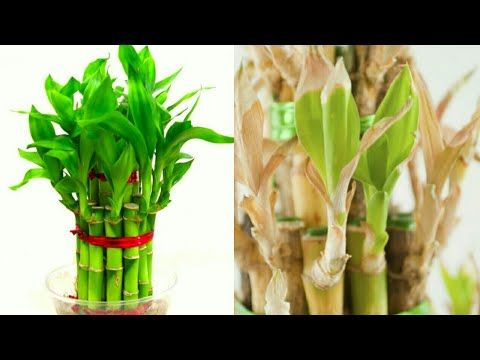 Lucky Bamboo Plant Leaves Turning Yellow Youtube Plant Leaves Turning Yellow Lucky Bamboo Plants Plant Leaves Turning