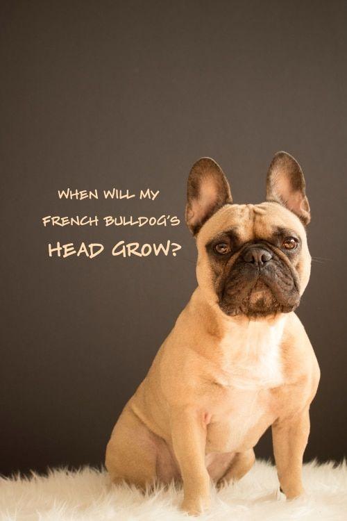 When Will My French Bulldog S Head Grow French Bulldog Bulldog