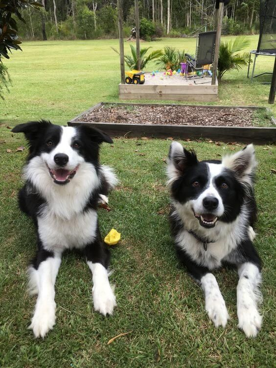 You Get Really Excited When The Weekend Comes So You Can Spend All Of Your Time With Your Border Collies Border Collie Collie Puppies Collie