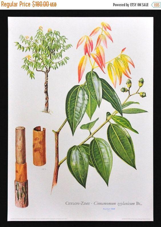 On Sale 30 Rabatt Jahrgang Zimt Baum Von Vintageschoolcharts Botanical Poster Vintage School Blue Ink