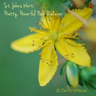 Mama's Herb of the Week: Glorious, powerful St. John's Wort (Hypericum perforatum) can be used topically as an anti-inflammatory, wound healing herb. The red hypericin from the flower bud, when properly infused in oil, helps the pain associated with wounds, minor burns and atopic dermatitis. It is believed to help reduce wound closure time, help regeneration of tissue, and increase tensile strength of wounds. http://gallery.earthmamaangelbaby.com/st-johns-wort.html