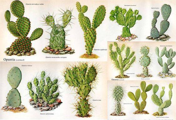 Nombres de algunas variedades suculentas cactus pinterest for Cactus variedades