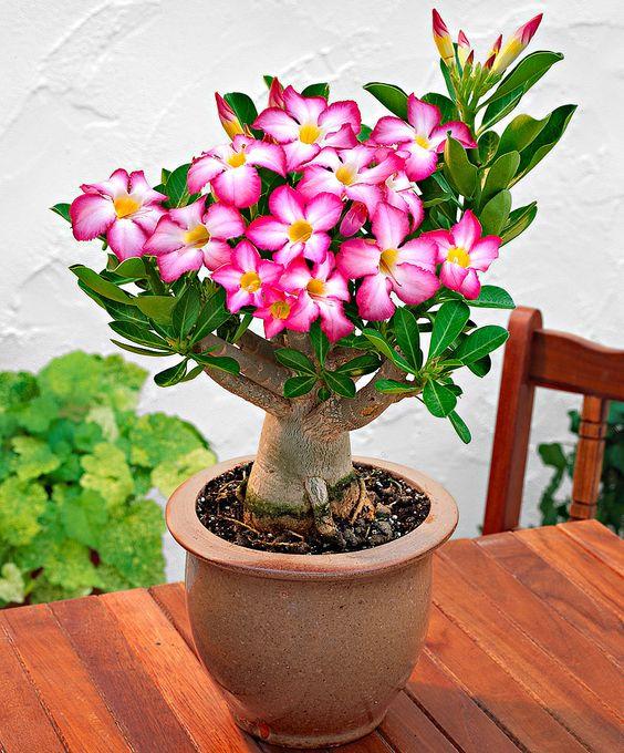 <3 this! ~ de Adenium (Desert Rose) http://www.bakker-hillegom.nl/product/impalalelie