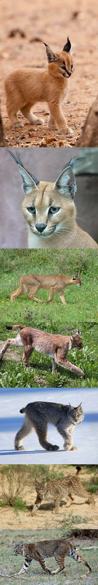 Caracal & Lynx - There is some confusion about these cats. The top image is a young Caracal(also called Persian lynx, Egyptian lynx and African lynx although they are technically not a lynx) followed by two more images of Caracals. The next four images are the four different types of Lynx. They are Eurasian Lynx, Canada Lynx, Iberian Lynx, and Bobcat....  http://en.wikipedia.org/wiki/Caracal