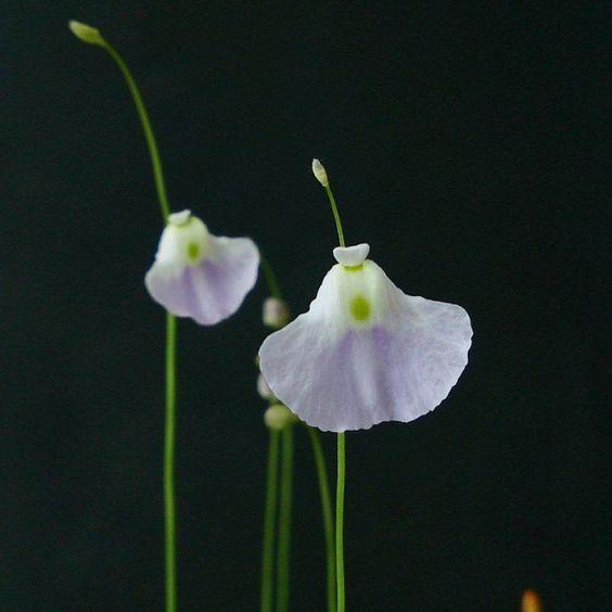 #utricularia #flower #carnivorousplants #californiacarnivores #carnivorousplantsofinstagram by ro.dema