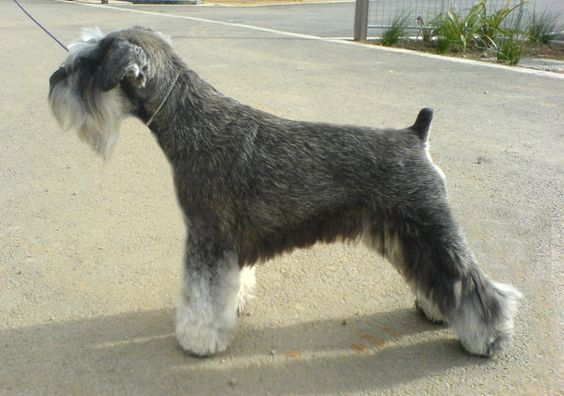 Salt & Pepper Miniature Schnauzer, Natural Ears..