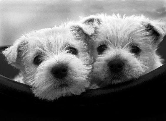 Westie terriers pups