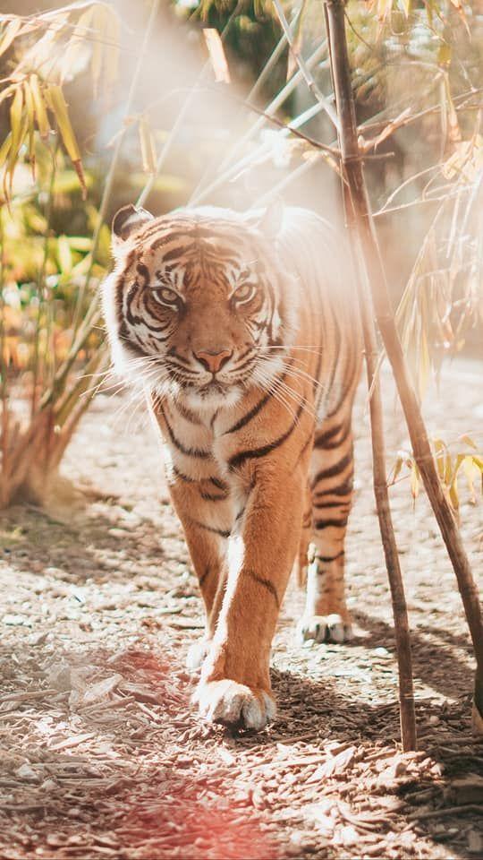 Tiger Summer Phone Background Desktop Backgrounds Animals Pet Tiger Tiger