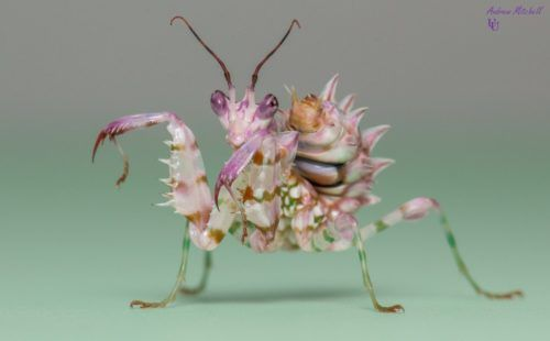 Pseudocreobotra Wahlbergii Spiny Flower Mantis For Sale Insects For Sale Garden Insects Pets For Sale