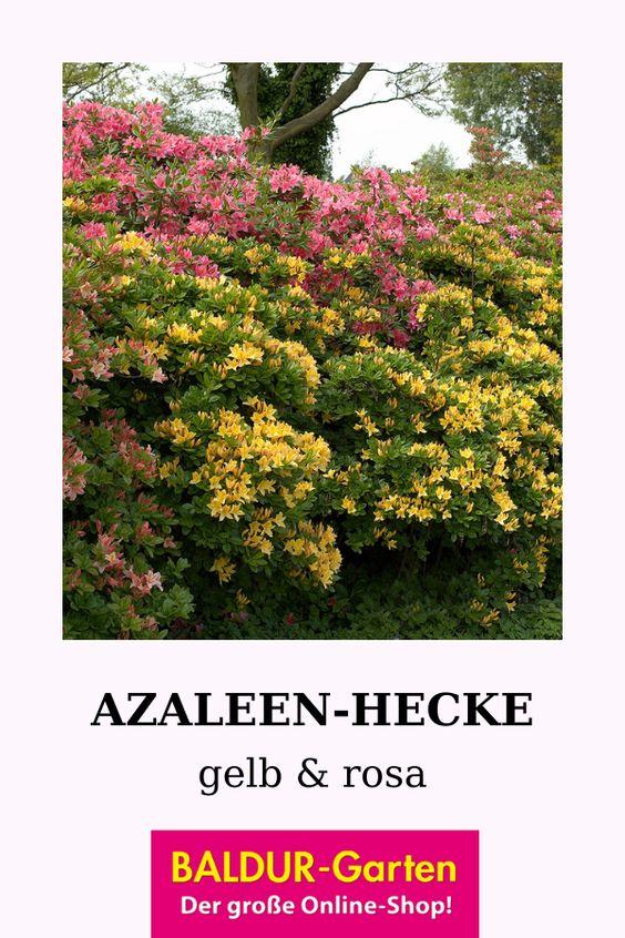 Azaleen Hecke 1a Qualitat Kaufen Baldur Garten Azaleen Kubelpflanzen Garten