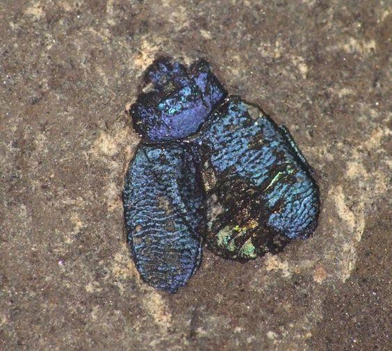prehistoric beetle