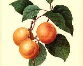 Redoute Botanical Print -  Apricot - 1