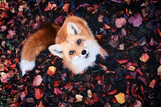 Meet Juniper, The Pet Fox Who's Basically An Orange Dog//BoredPanda