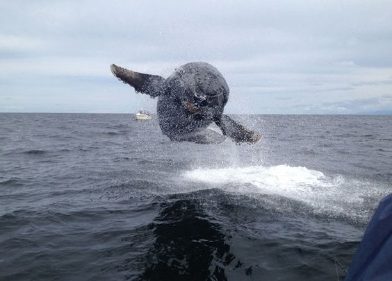 A baby humpback whale caught in mid-air while playing and jumping out of the water amidst boated fishermen in Tofino, British Columbia. (Photographer: Matthew Thornton)