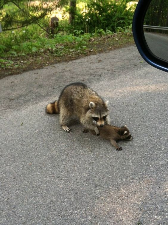 Baby raccoon, The road and You funny on Pinterest