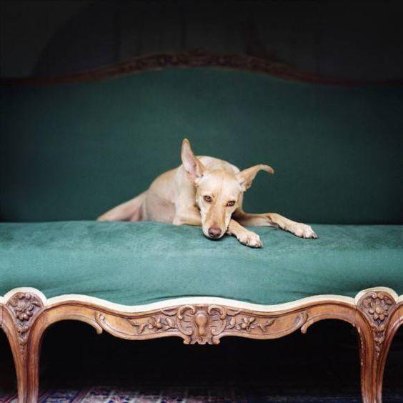 緑色の椅子にもたれるおしゃれでかっこいい犬の壁紙