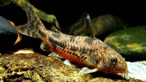 Corydoras Paleatus Brown Pepper Cory Catfish Aquarium Fish For Sale Catfish For Sale Tropical Fish Aquarium
