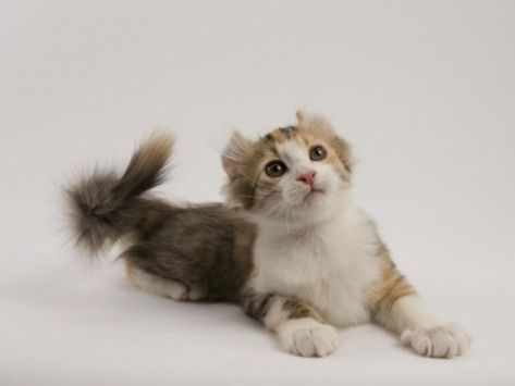 American Curl Photographic Print