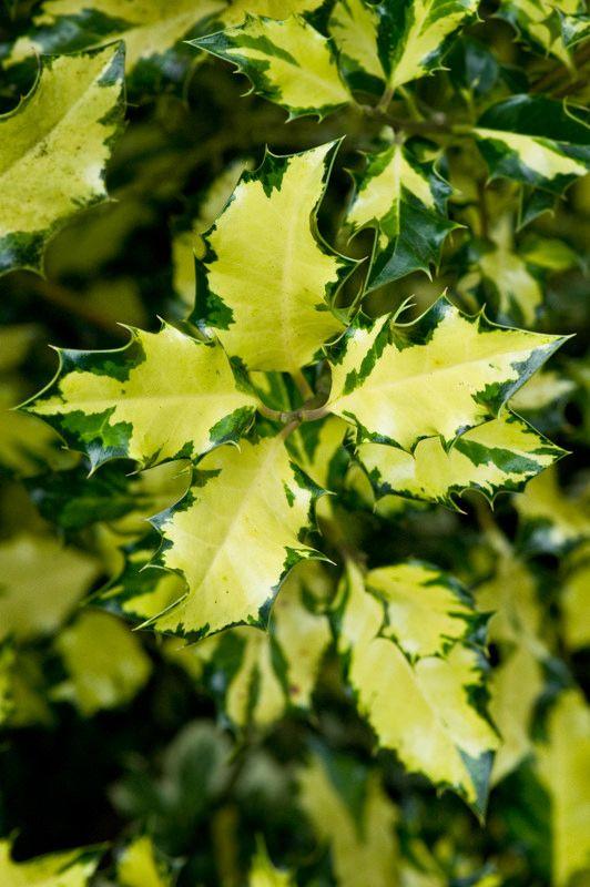 Ilex aquifolium  lungimiranza (dal libro Il Linguaggio