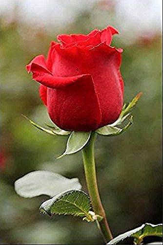 Baru 30 Bunga Mawar Cantik Merah Gambar Bunga Mawar Merah Mawar Cantik Gambar Dan Merah Download 7 Beautiful Rose Flowers Girl Wallpaper Red Rose Pictures