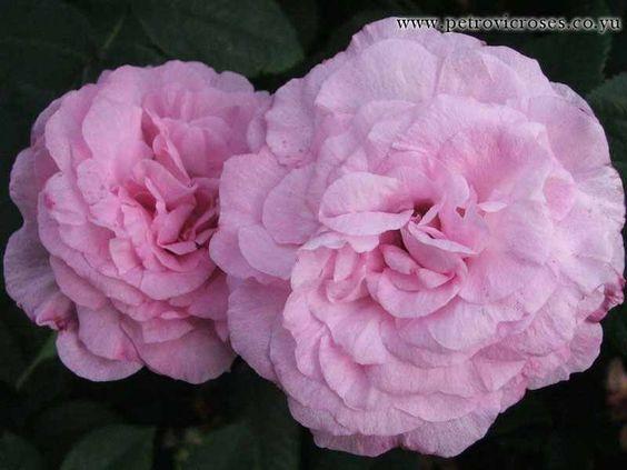 Rosa 'Ornement de la Nature' (Netherlands, before 1814) Gallica rose.  Carmine pink with pink outer petals. Light fragrance.