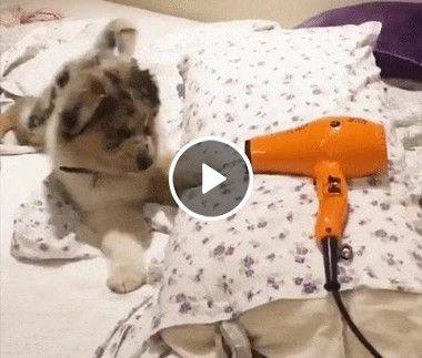 Esse cãozinho não gostou nada, quando viu o secador no travesseiro da sua dona!