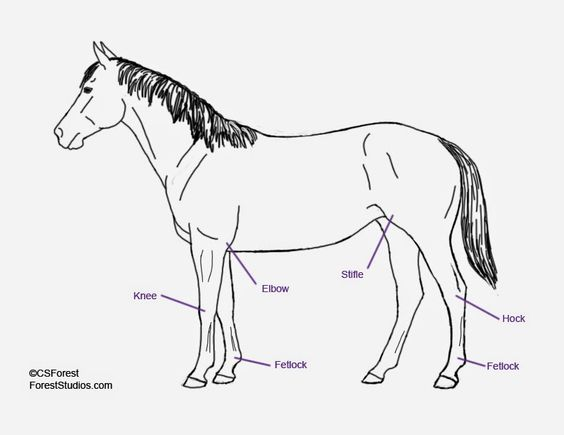 How To Draw Horse Legs - Tutorial Part 1