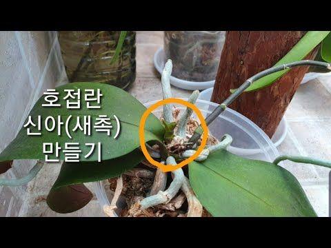호접란 번식법 호접란 신아 새촉 만들기 How To Make A Baby Phalaenopsis Orchid Keiki Youtube 식물 가꾸기 식물 화분