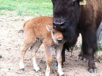 7th calf of the spring was born! Here are some facts about baby bison ...