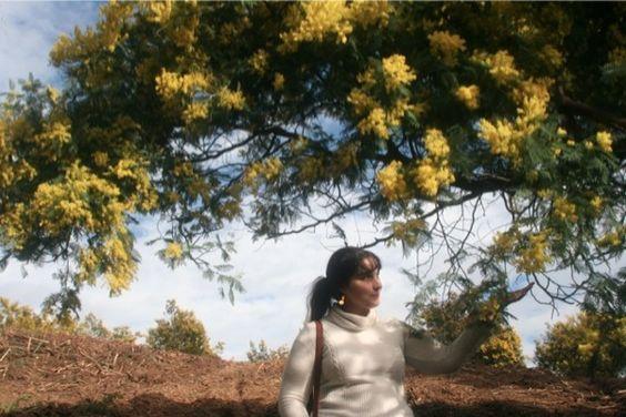 Look lumineux dans les massifs de mimosa sur la colline du Tanneron à Mandelieu.