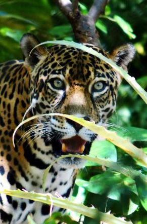 Stunning jaguar at Las Pumas Rescue Center in Costa Rica. More info to plan your visit to this amazing wildlife center here: http://www.twoweeksincostarica.com/las-pumas-rescue-center/ #CostaRica #wildlife #bigcats