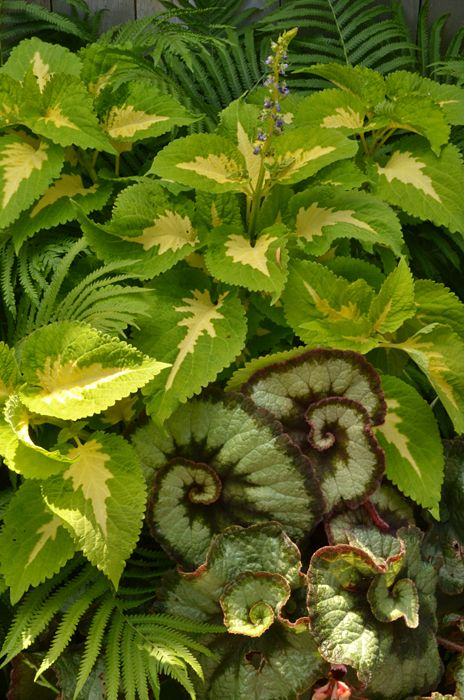 Plants for shade: 'Escargot' begonia, coleus and ferns. This was on the Snyder-CleveHill Tour of Gardens in 2015.