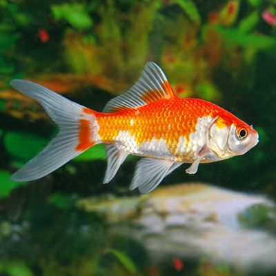 Feeder Goldfish calico | Exotic goldfish come in all ...