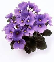 Resultado de imagem para Imagens da flor violeta