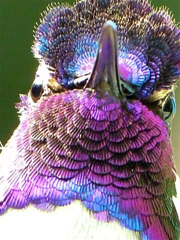 Iridescence of Costa's Hummingbird's Feathers » Focusing on Wildlife