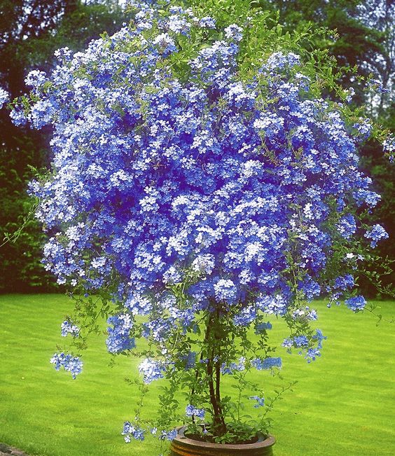Plumbago - thrives in the hot Texas summer. Disease- pest- and deer-resistant. Can grow into a large bush, and also can be trained to grow on a trellis.: