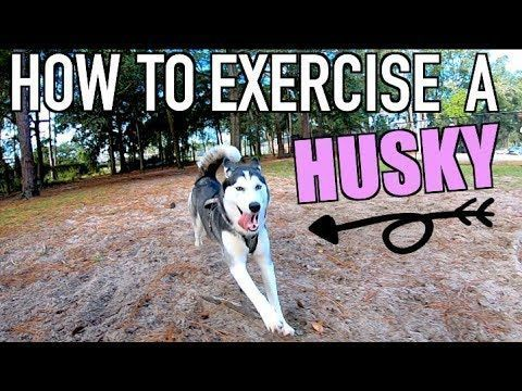 How To Properly Exercise A Siberian Husky Tips Tricks