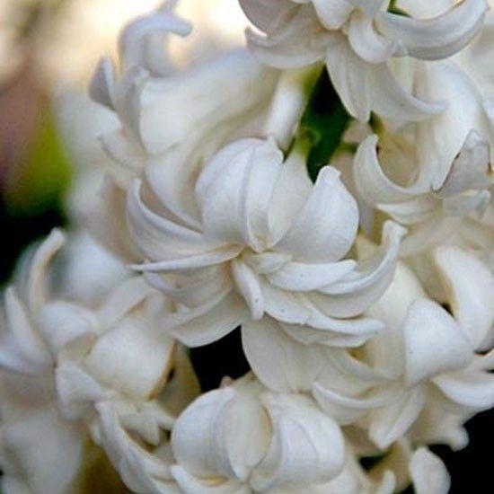 Hyacinth 'Madame Sophie'
